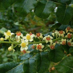 Boswellia-gum-extracts-bionut elixir