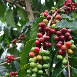 Coffea-Arabica