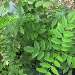 Licorice-plants-extracts