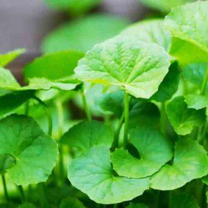 centella-asiatica-plant-extracts