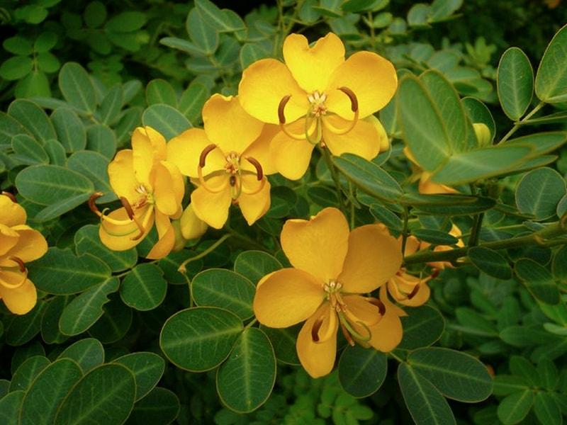 sienna plant bionut elixir